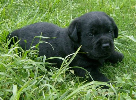 black lab puppies for sale in nh black lab puppies for sale black lanradors blocky black breeds picture