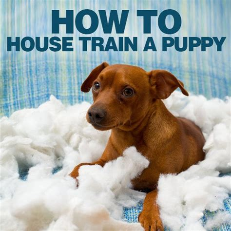 how to potty train a house dog potty training for boys how to house train a puppy