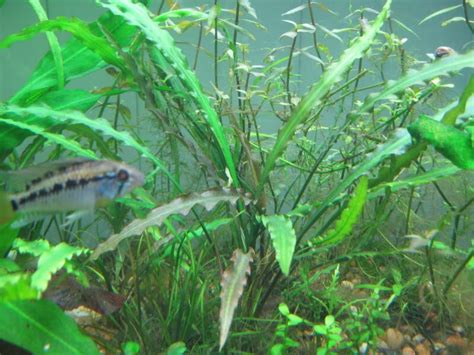design aquascape untuk pemula biota aquatic plant jual cryptocoryne spiralis tanaman