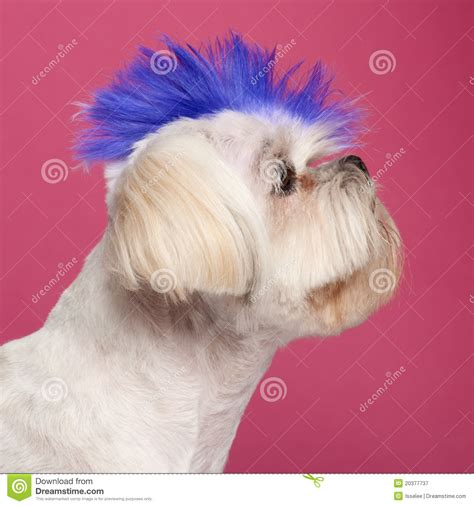 shih tzu mohawk up of shih tzu with blue mohawk royalty free stock photography image 20377737