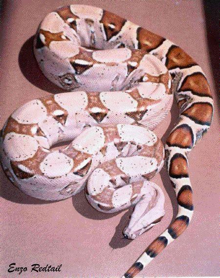 Boa Pastel 1 boa constrictor constrictor