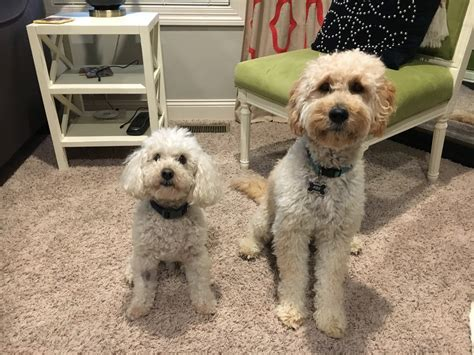 Using Positive To Stop A Goldendoodle Puppy