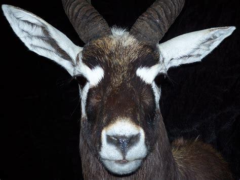 Exotic Animal Rugs Exotic Animals Callan Taxidermy