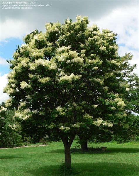 lilac tree japanese tree lilac picture of japanese tree lilac
