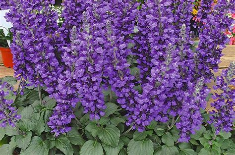 Purple Garden Flower Top 10 Purple Plants For Your Flower Garden Birds And Blooms