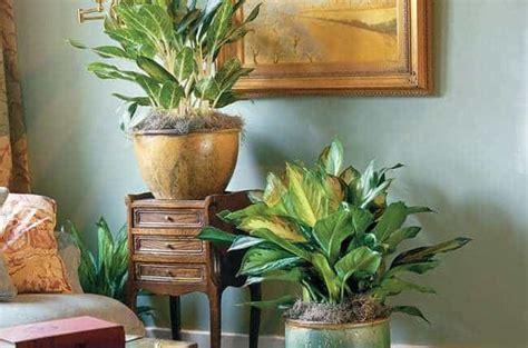 Pupuk Untuk Bunga Sri Rejeki jenis tanaman hias aglaonema yang populer beserta harganya