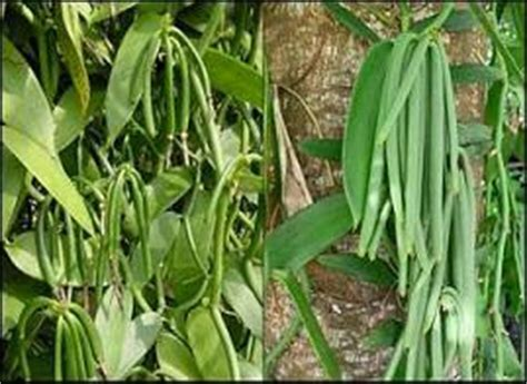 Teh Vanili budidaya tanaman perkebunan unggulan budidaya tanaman teh