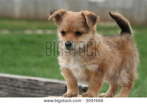 yorkie bichon mix price yo chon puppy stock photo stock images bigstock