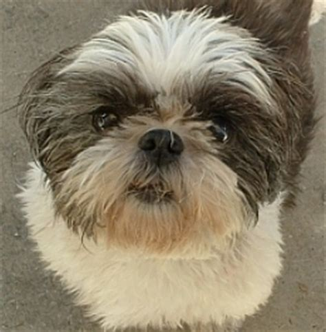 allergic to shih tzu shih tzu allergies for humans breeds picture
