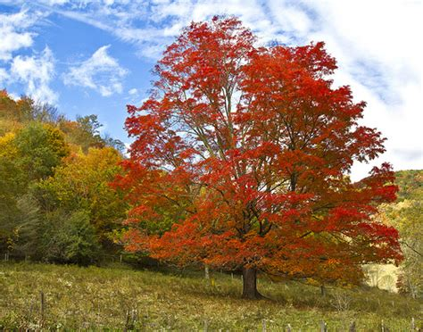 maple tree virginia the sugar maple flickr photo