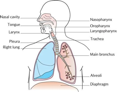 Diagram Respiratory Tract Of Earthworm Human Anatomy Picture Diagram Of And Lower Respiratory System World Of Diagrams