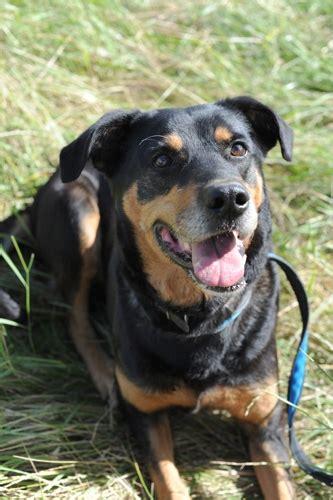 8 year rottweiler kizzy 8 year rottweiler cross for adoption