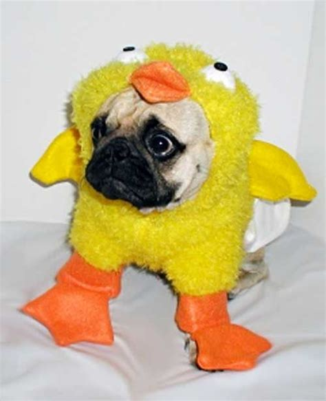 chicken pug chicky pug dogs dogs dogs pug chicken costumes and ducks