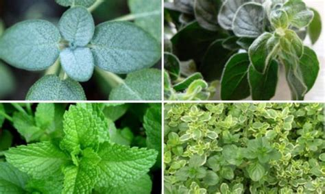 jenis daun tanaman  berkhasiat  obat