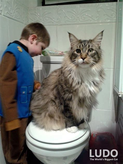 Biggest Maine Coon cat in the world watches over his