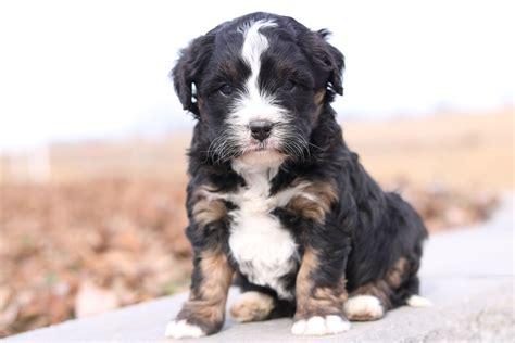 bernedoodle puppies for sale florida mini bernedoodle