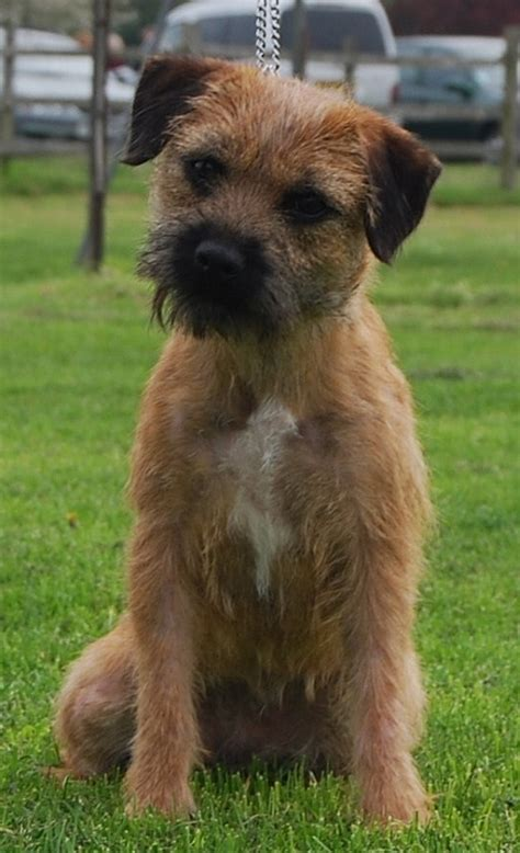 terrier puppies brandycarr kennels breeders of border terriers and border terrier puppies