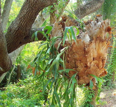 Fit Botanical Gardens by Staghorn Fern At Fit Botanical Garden Photograph By Gilley