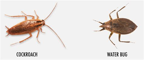House Types In Georgia by Powerful Pest Know The Difference Water Bugs And