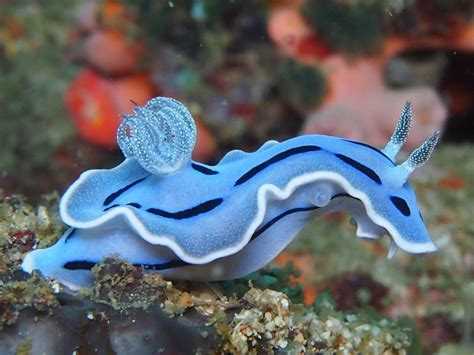 diamonds   chromodoris willanis  friend featured creature