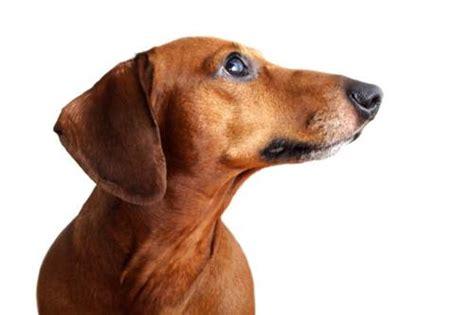 alimentazione bassotto nano razze cani pagina 5 di 17 tutto ze