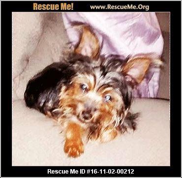 yorkie rescue orange county california yorkie rescue adoptions rescueme org