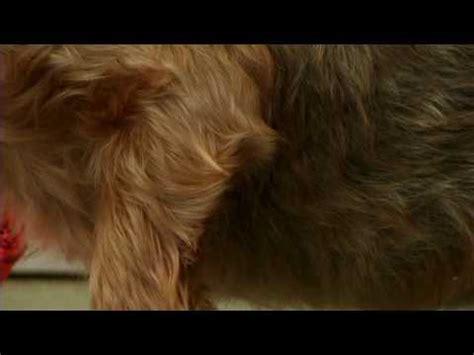 how to groom a yorkie puppy grooming a yorkie terriers yorkies