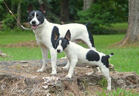 rat terrier puppies for sale rat terrier puppies for sale akc puppyfinder