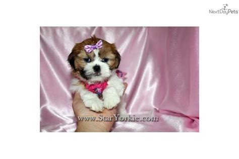 akc puppy finder akc shih tzu breeder shih tzu puppies for sale design bild