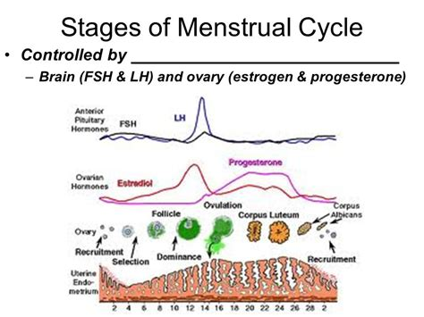 menstrual cycle after cesarean section when will my period start after c section 28 images 60