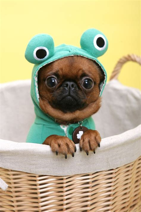 pug care products petit brabancon black search animals frog costume being
