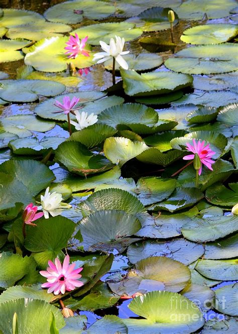 Artificial Flower Home Decor by Colorful Water Lily Pond Photograph By Carol Groenen