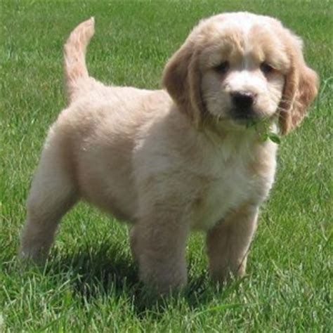 golden retriever breeders dakota dakota sport retriever breed information and facts