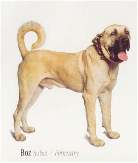 anatolian shepherd puppies craigslist boz kangal images search