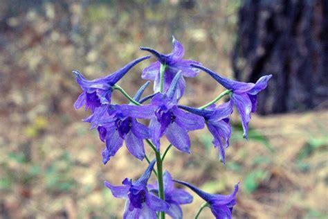 delphinium fiore delphinium o speronella perenni coltivare la speronella