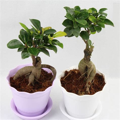 tiny potted plants mini plant flowers small banyan banyan tree seedlings