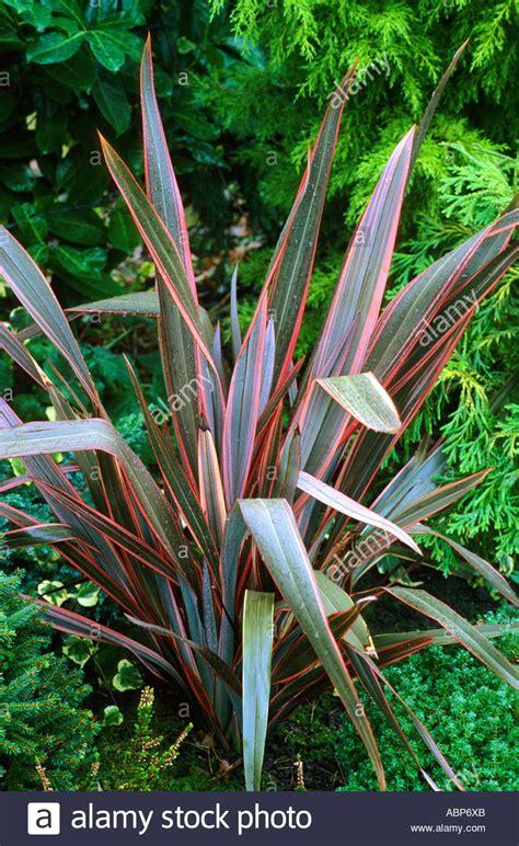 blattpflanzen garten phormium sundowner neuseeland flachs gestreift rosa