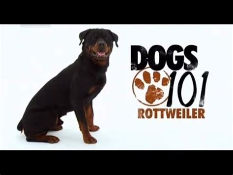 dogs 101 rottweiler animal planet 37 best images about rottweiler bil jac contest on food protein