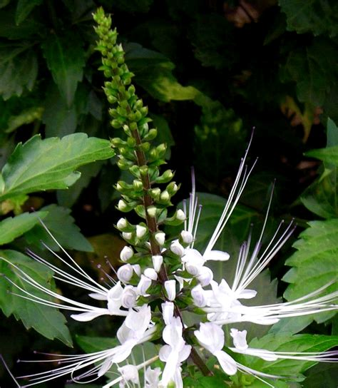 Obat Herbal Kumis Kucing khasiat kumis kucing bagi kesehatan jamu asam urat herbal