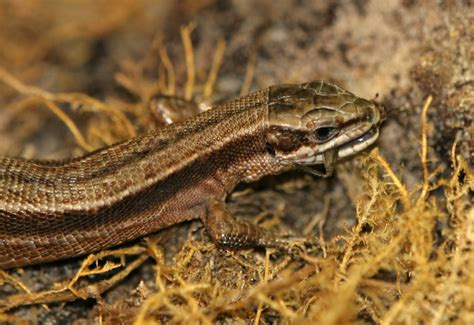 what do backyard lizards eat what do lizards eat dog breeds picture