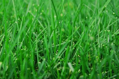Grass Types by Lawn Grass Varieties