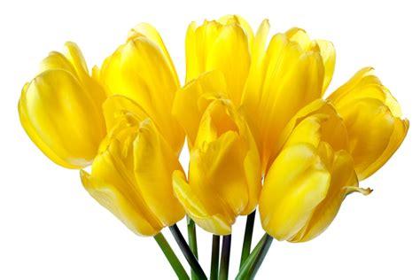 asombrosas imagenes de rosas amarillas imagenes de 191 qu 233 significa so 241 ar con flores amarillas floraqueen