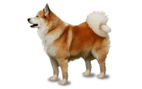 Japanese Apartment Size Icelandic Sheepdog Dog Breed Information Pictures