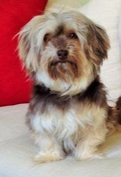 petfinder havanese 1000 images about dogs needing help on havanese dogs puppy for
