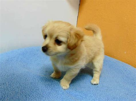 chihuahua and pomeranian mix puppies for sale pomeranian husky mix puppies for sale in los angeles breeds picture