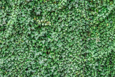 houseplant vine free photo ivy vine the leaves plants free image on