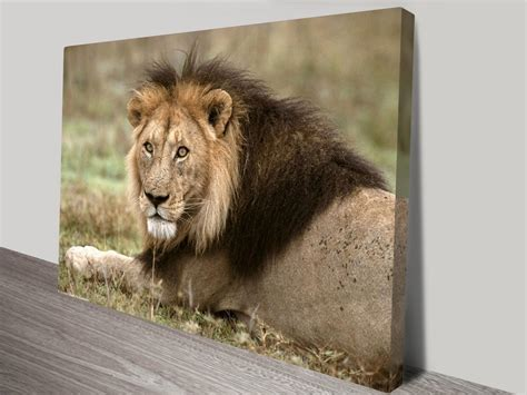 Lion Print by African Lion Canvas Print