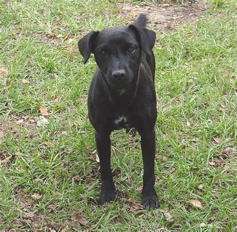 The Patterdale Terrier lost lake farm patterdale terriers