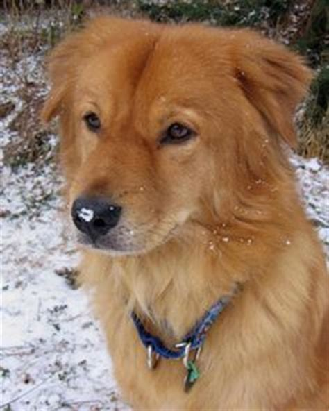 chow chow cross breed with golden retriever 1000 images about best dogs on golden retriever mix chow chow mix and