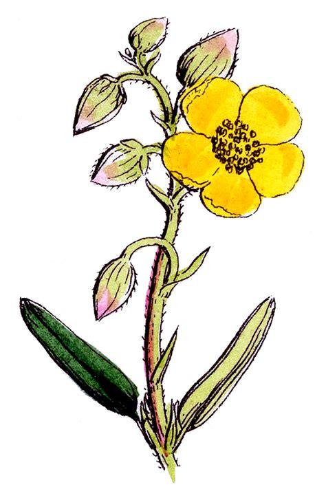 botanical graphic   pretty wildflowers